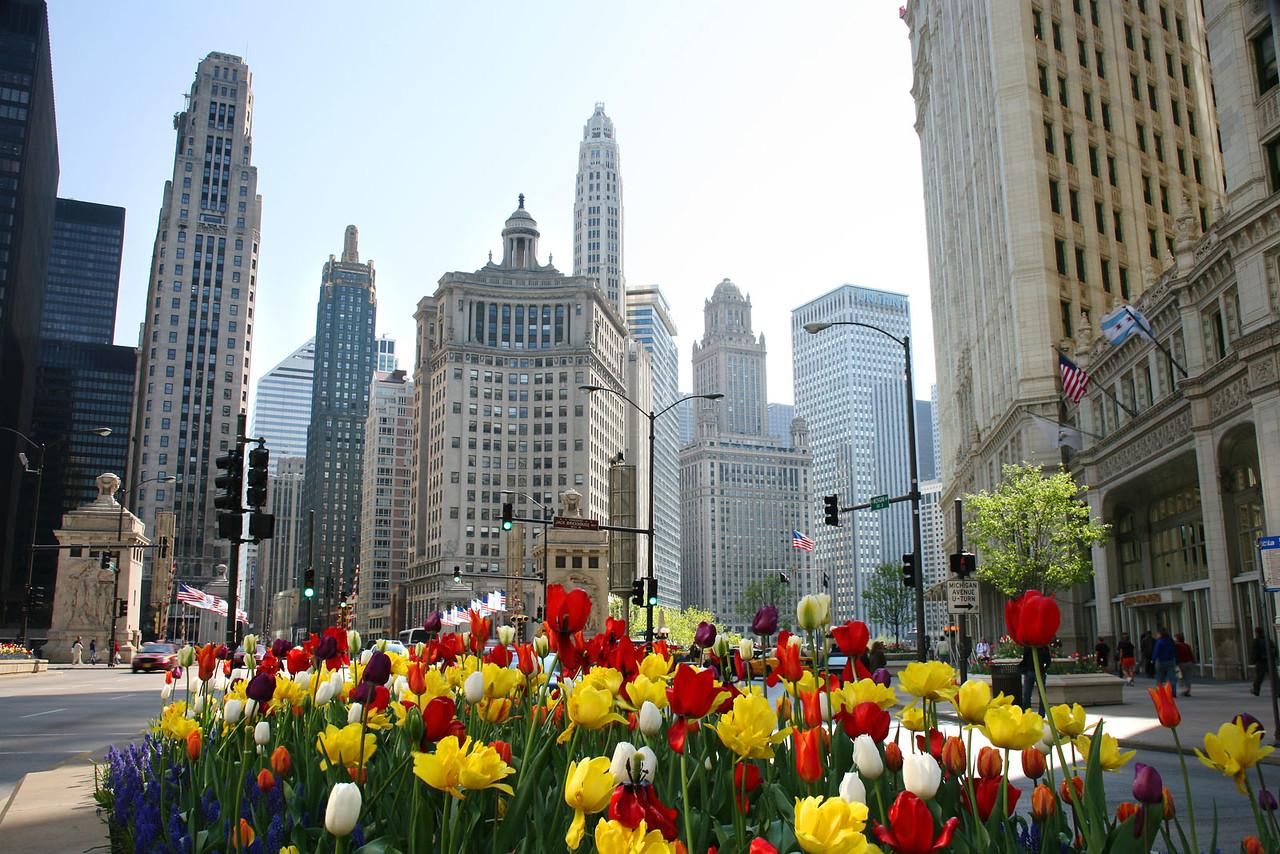 Michigan Avenue tulips 5