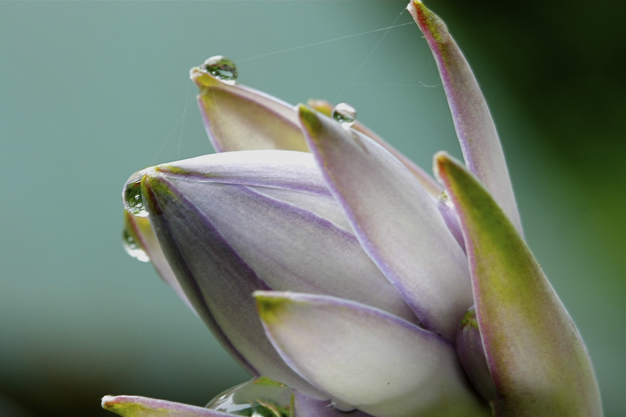 Hosta flower all tied up with silk.