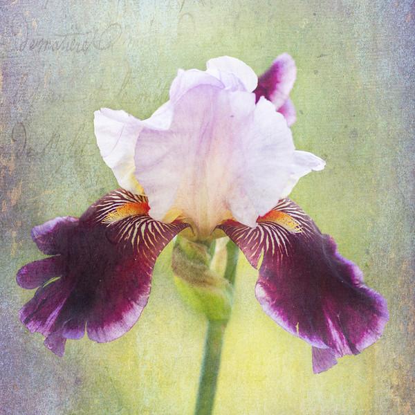 Iris flower