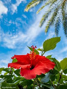 Hibiscus Blue Sky