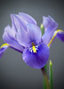 Iris - little one, photo is three times the size