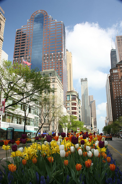 Michigan Avenue Tulips 4