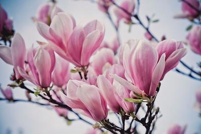 magnolia-004