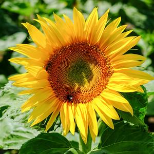 sunflower-006