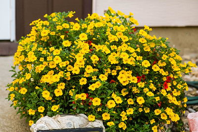 flower pot overflowing with yellow million bells flowers