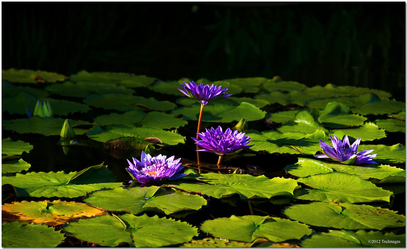 Aug 1<br /> Emerging for sunlight<br /> <br /> So many lilypads bursting with color and beautiful flowers!