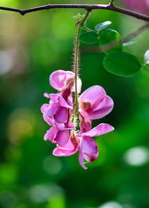 Sweet Pea Tree Flowers