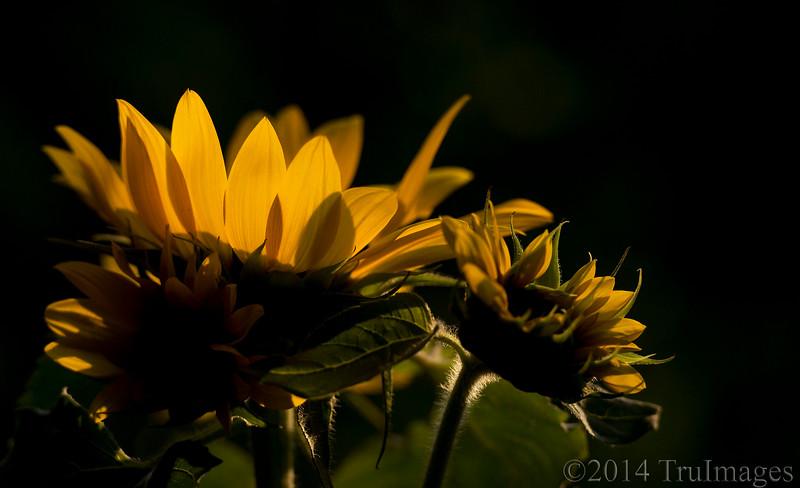 Sunning Sunflower!