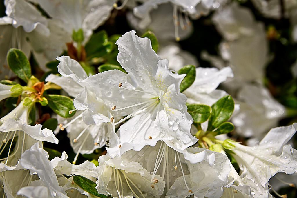 Azaleas blossom in Rochester
