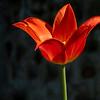 tulip-002
