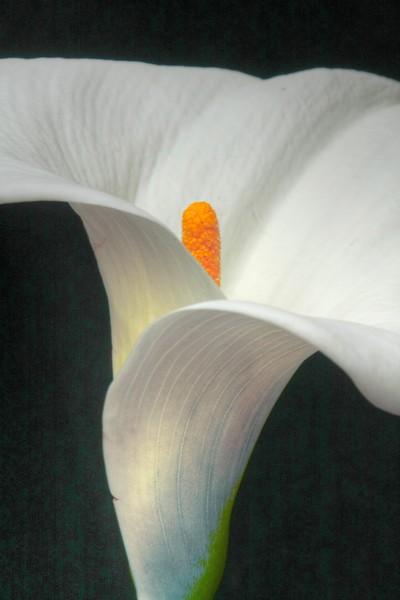 IMG white Liliy 10x30 HDR