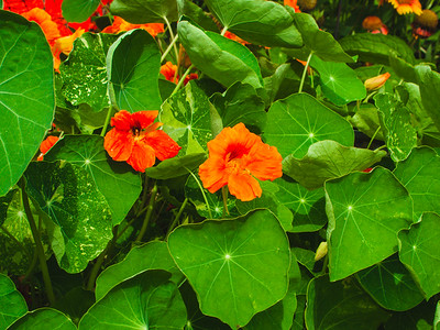red and orange nasturtium blooms peeking out from inside the leaves