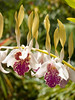 <center><b>Orchid Flowers</b></center>