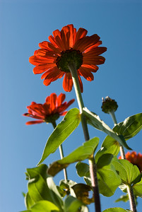 photo of several large daisies taken from below the flower showing them reaching to the sky.