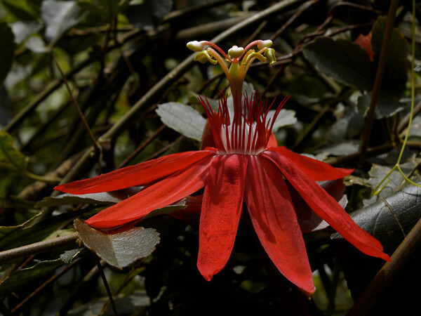 <center><b> Passion Flower </b></center>