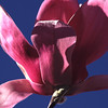 Pink Magnolia, 1999<br /> Film Photography