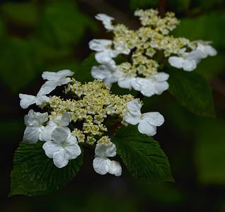 Hobblebush Viburnum