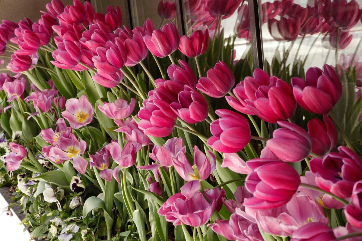Window box tulips on Michigan Avenue