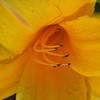 Day Lilly2 Diffuse Glow