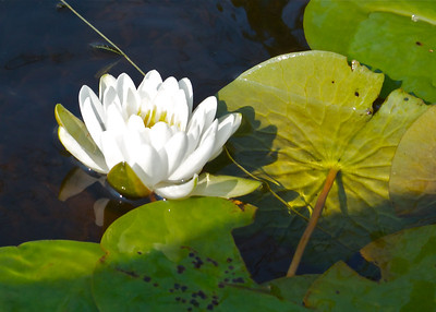 Water Lily on Lake Aeroflex