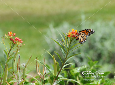 Monarch Butterfly with Milkweed Plants_002