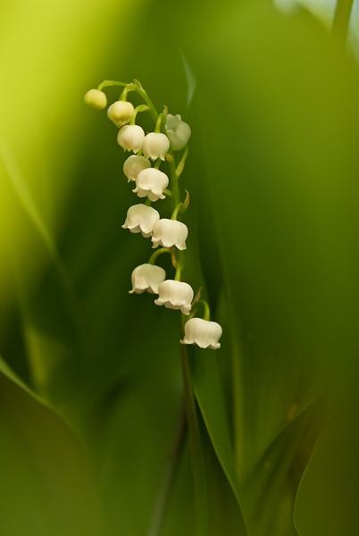Soft Lillies