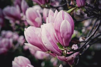 magnolia-001