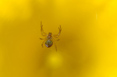 Spider in Daffodil
