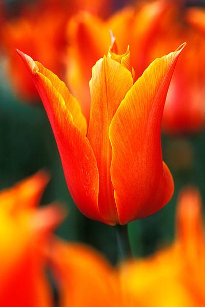 #186 Orange Tulip