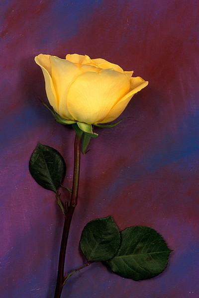 #162 Yellow Rose 1