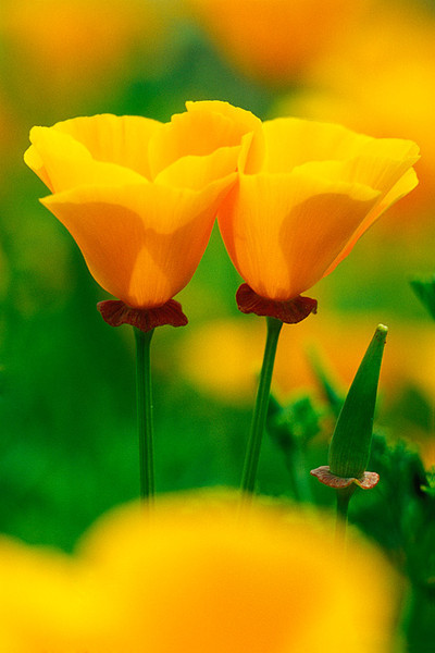 #196 California Poppies