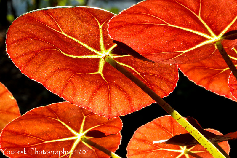Sunset through the Begonia leaves.