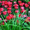 Tulips at the Bellagio Botanical Gardens in Las Vegas 2