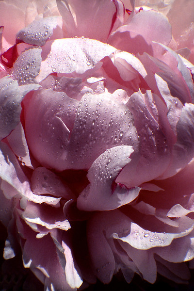 Pink Rose, 2002<br /> Film Photography