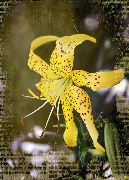 Dancing Lilly -