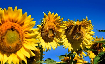Sunflower2 (2)
