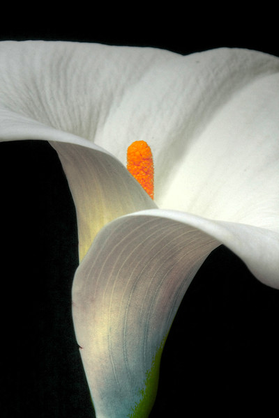 IMG white Liliy 10x30 HDR water color