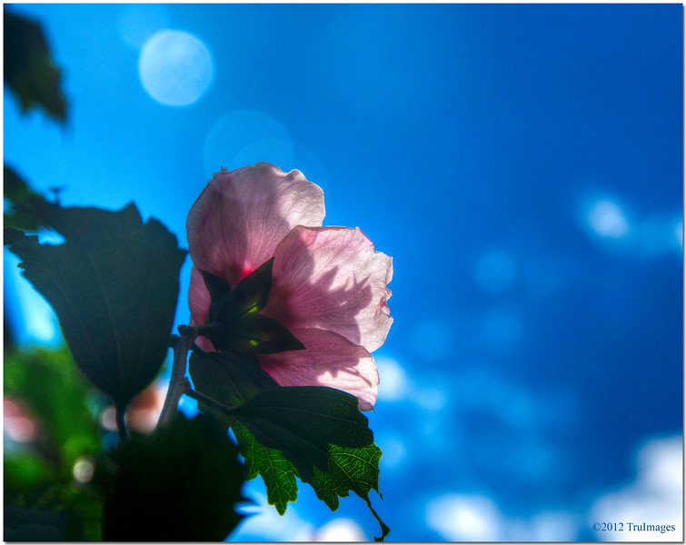 Sept 20 <br /> Pink and Blue <br /> <br /> My rose of sharon bush continues to produce beautiful flowers! My camera seems to be drawn to them!