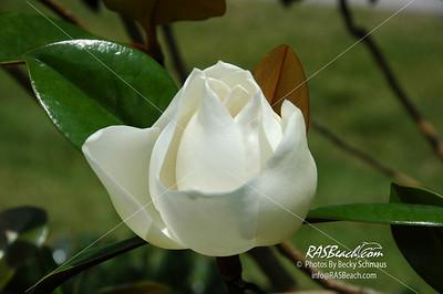 Magnolia Flower_001