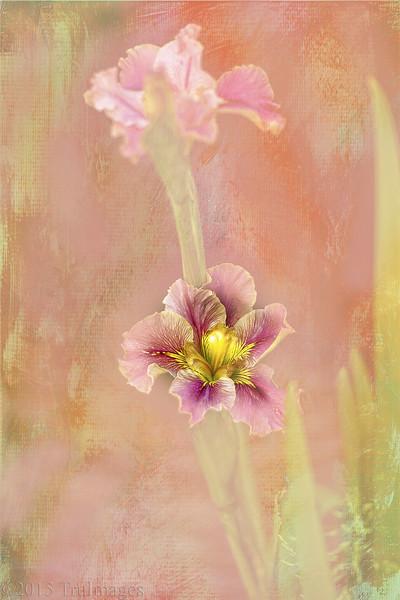 Water Iris Impressions