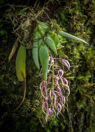 PhoMacroclinium ramonense