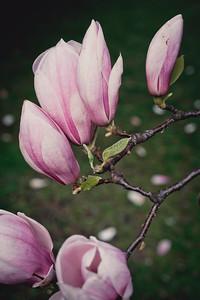 magnolia-005