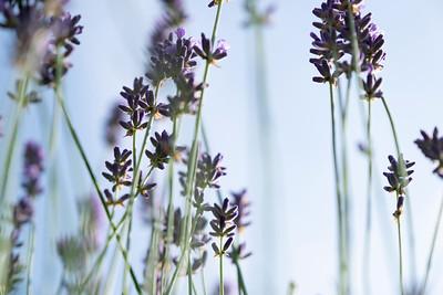 lavender-001
