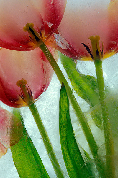 #94 Tulips in Ice