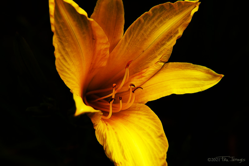Portrait of a Day Lily