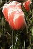 Tulip Impressions II