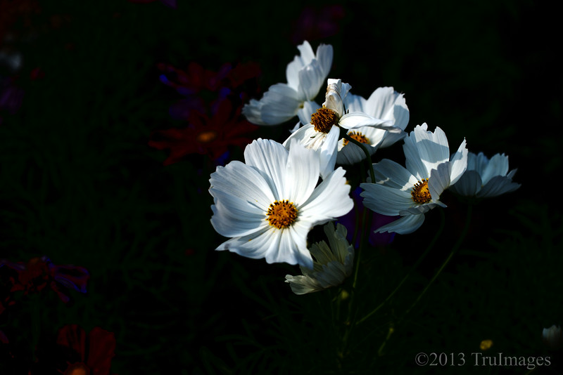 Oct 9<br /> Sunning Cosmos <br /> <br /> A white cosmos reflects the evening sunlight.<br /> <br /> Thanks for your continued comments!!