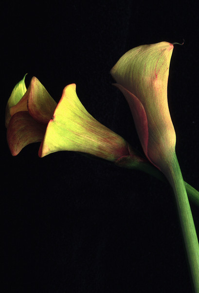 Cala Lilies, 2000<br /> Film Photography