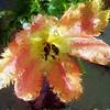 Parrott tulip