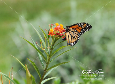 Monarch Butterfly on a Milkweed Plant_001